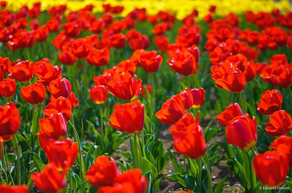 photoblog image Tulips-Kinuta Park, Tokyo